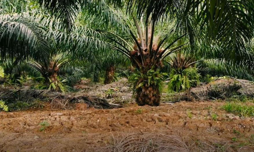 El aceite de palma como producto de exportación imagen