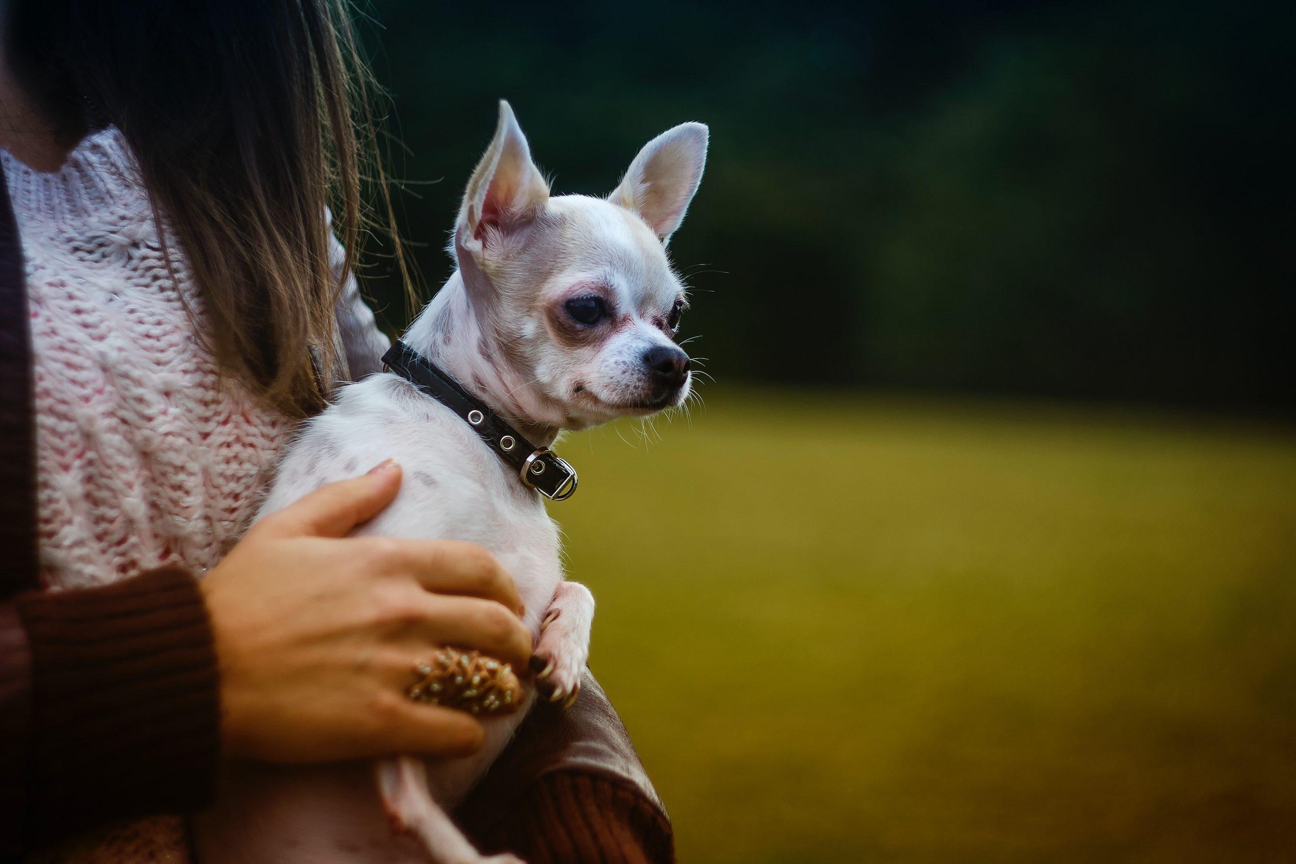 El chihuahua que estuvo desaparecido y al encontrarlo, un vecino lo envenenó por venganza. imagen