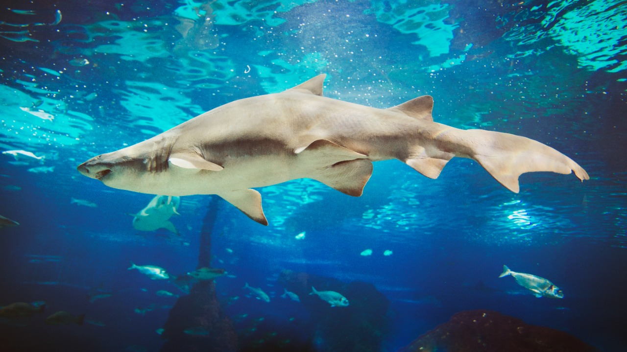 Conoce sobre los tiburones  una increíble criatura que domina los mares y océanos imagen