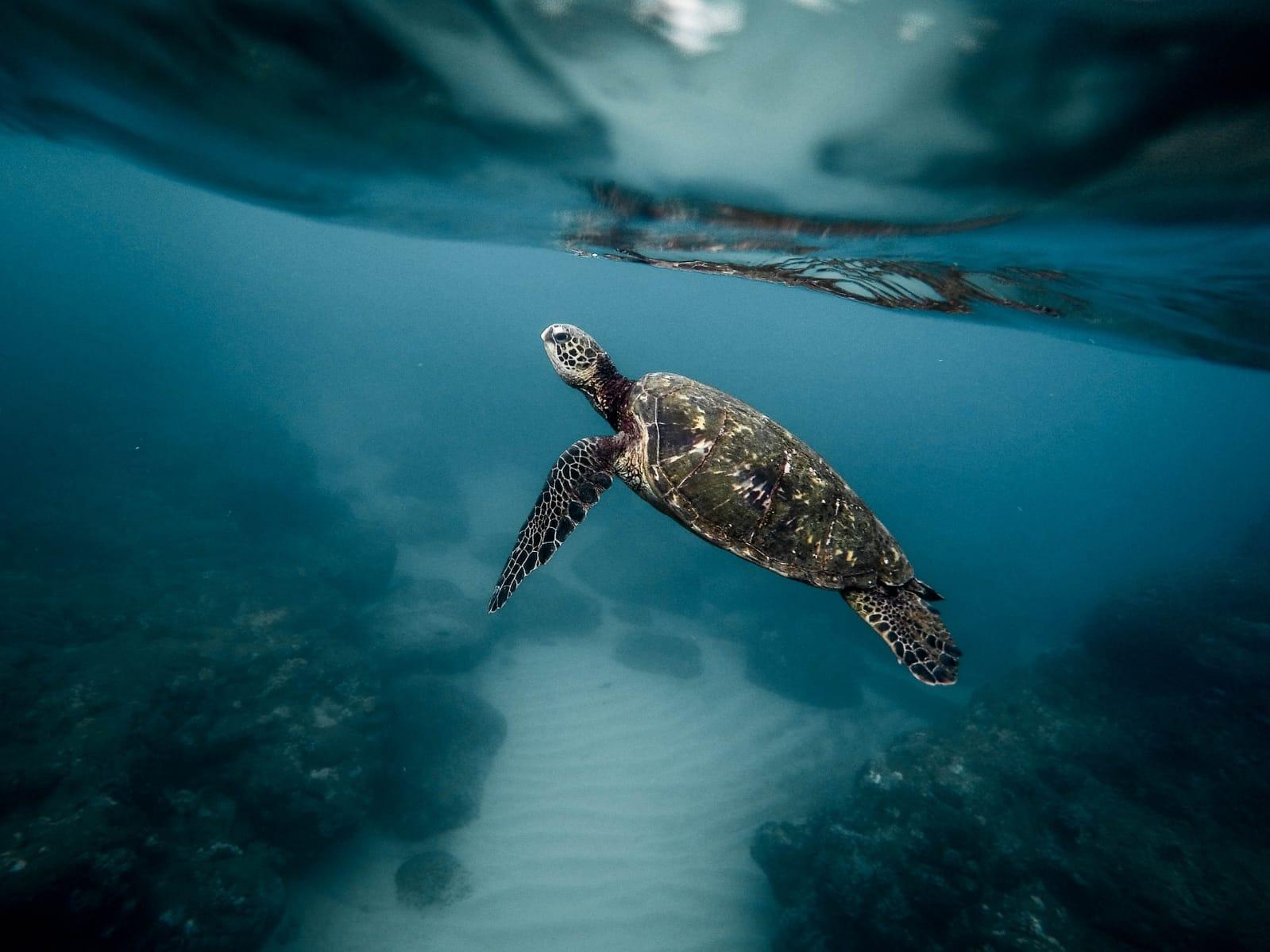 Liberación de tortugas en el Pacífico imagen