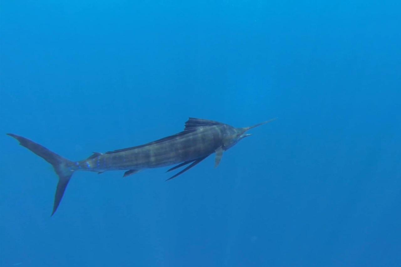 En busca del pez Vela imagen